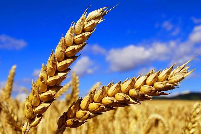 Proteine idrolizzate del grano